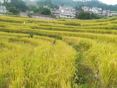 广西壮族自治区贵港市桂平市香米 有机大米 晚稻 一等品