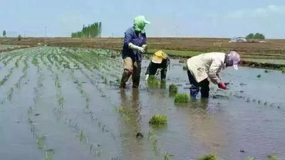 这是一张关于稻花香大米 非有机大米 晚稻 一等品的产品图片