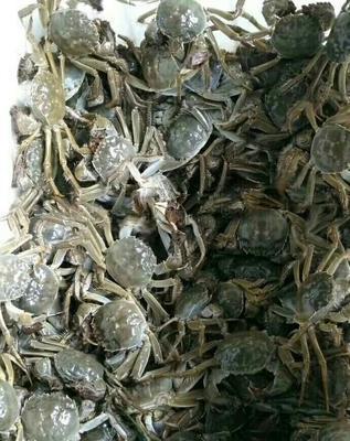 这是一张关于阳澄湖大闸蟹 2.0-2.5两 公蟹的产品图片