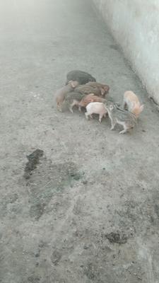 山东省菏泽市郓城县特种野猪 20-30斤 统货