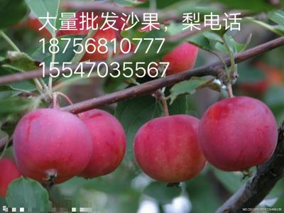 黑龙江省齐齐哈尔市龙江县红沙果 8-9g