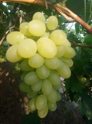 河北省唐山市乐亭县维多利亚葡萄 5%以下 1次果 1.5- 2斤