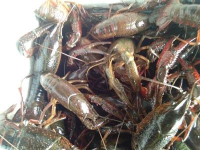 这是一张关于青壳小龙虾 稻田虾 6-8钱的产品图片