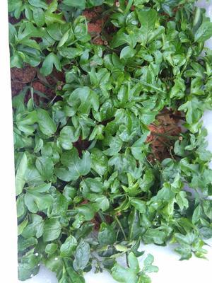 这是一张关于紫香一号百香果苗的产品图片