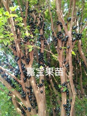 广西壮族自治区钦州市灵山县嘉宝果