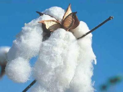 这是一张关于籽棉的产品图片