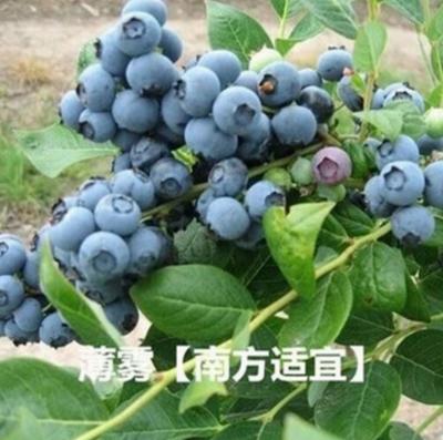山东省泰安市岱岳区晚蓝蓝莓苗