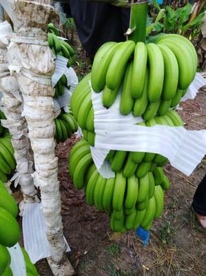 这是一张关于威廉斯香蕉 七成熟 40 - 50斤的产品图片