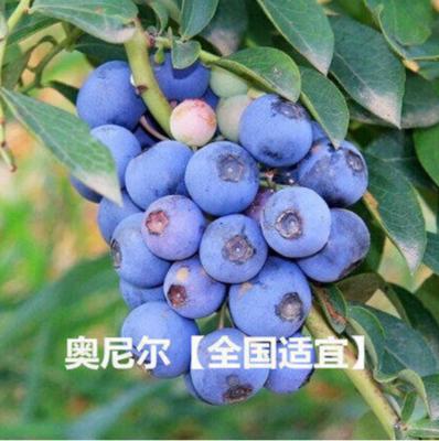 山东省泰安市岱岳区艾克塔蓝莓苗
