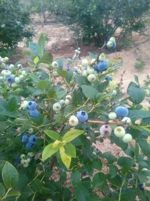 这是一张关于杜克蓝莓 鲜果 4 - 6mm以上的产品图片