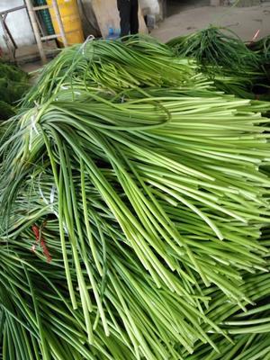 这是一张关于金乡红帽蒜苔 一茬 60~70cm 精品的产品图片