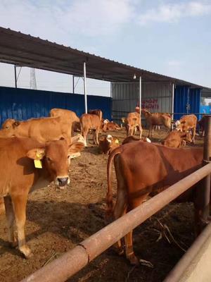 这是一张关于利木赞牛 400-600斤 公牛的产品图片