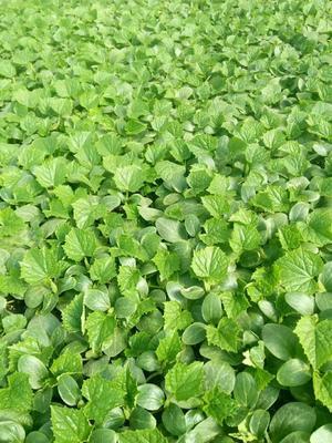 这是一张关于黄瓜种苗的产品图片