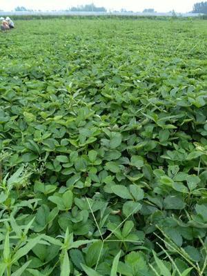 这是一张关于法兰地草莓苗 地栽苗 20~30公分的产品图片