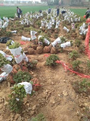 山东省菏泽市牡丹区观赏牡丹 4~6cm 4cm以下 0.5~1米