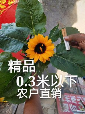 山东省潍坊市青州市向日葵 0.5米以下