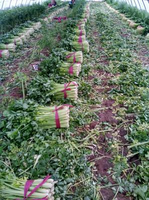 山东省滨州市惠民县美国西芹 50~55cm 大棚种植 0.5斤以下