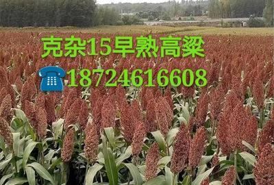 黑龙江省哈尔滨市双城市克杂15早熟高粱种子 种子