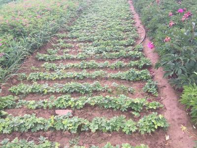 山东省菏泽市牡丹区紫斑牡丹 2cm以下 4cm以下 0.5米以下