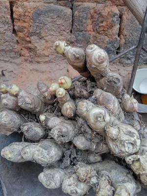 云南省普洱市思茅区姜种 带土 2两以上