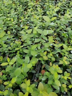 山东省泰安市泰山区蓝丰蓝莓苗