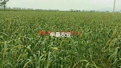 河南省三门峡市陕县黄米 一级