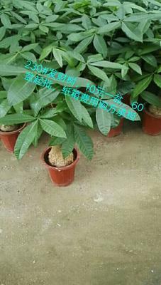 云南省昆明市呈贡区独杆发财树