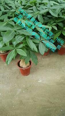 云南省昆明市呈贡区发财靓树