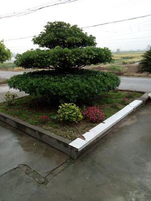 湖北省荆州市松滋市造型景观小叶榕桩头
