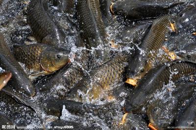 黑龙江省哈尔滨市平房区池塘鲤鱼 人工养殖 1-2.5公斤