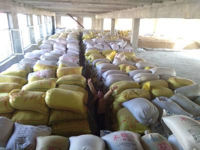 黑龙江省哈尔滨市松北区黑珍珠稻 中稻