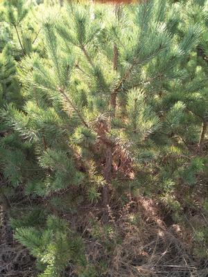 这是一张关于樟子松 2~2.5米的产品图片