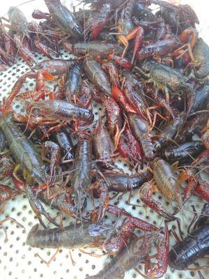 这是一张关于青虾的产品图片
