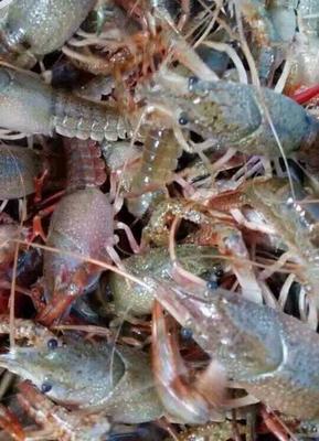 这是一张关于红壳小龙虾 人工殖养 5-7钱的产品图片