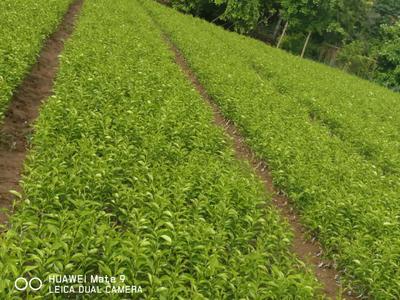 四川省成都市蒲江县柑树苗 0.5米以下
