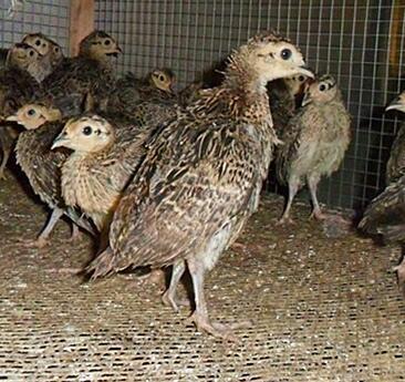 这是一张关于山鸡苗的产品图片