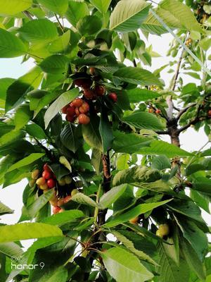 这是一张关于美早樱桃 15-20mm 15-18g的产品图片
