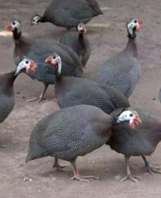 湖北省荆州市公安县灰色珍珠鸡 4-6斤