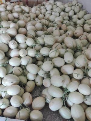 河南省安阳市内黄县白甜瓜 0.5斤以上