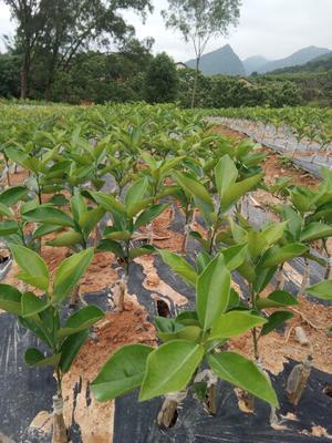 广西壮族自治区桂林市平乐县夏橙树苗 嫁接苗 0.5米以下