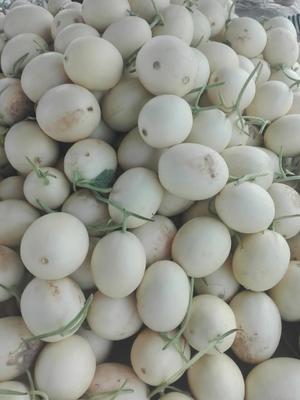 河南省安阳市内黄县各种甜瓜 0.5斤以上
