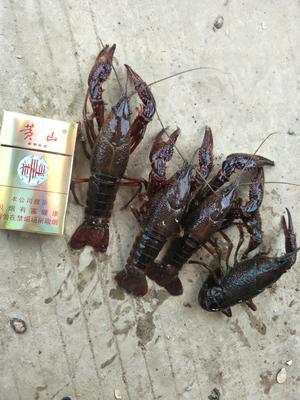 这是一张关于中国龙虾 国产 0.8-1斤/只 的产品图片