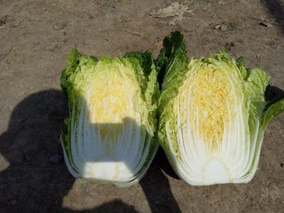 山东省临沂市郯城县菊锦春白菜 6~10斤 毛菜
