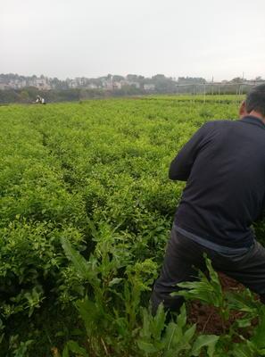 广西壮族自治区桂林市荔浦县沙糖桔苗 嫁接苗 0.35~0.5米