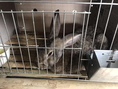 这是一张关于比利时兔 5斤以上的产品图片
