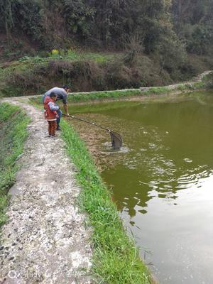 重庆江津区池塘鳊鱼 人工养殖 0.5公斤以下