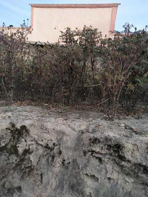 甘肃省临夏回族自治州康乐县牡丹树 2~4cm 4cm以下 1~1.5米