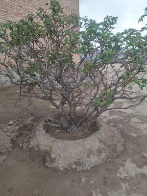 甘肃省临夏回族自治州康乐县牡丹树 10~12cm 10~12cm 1.5~2米
