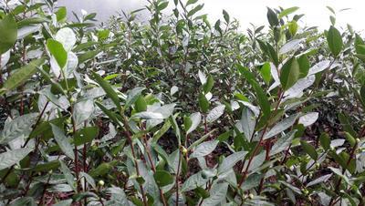 湖南省郴州市宜章县高山红茶 散装 一级