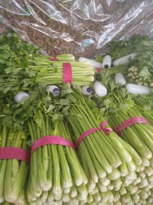河北省邯郸市永年县西芹 50~55cm 大棚种植 1.5~2.0斤